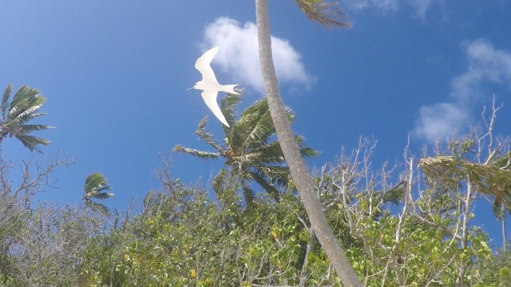 Rapota Island - White Tern